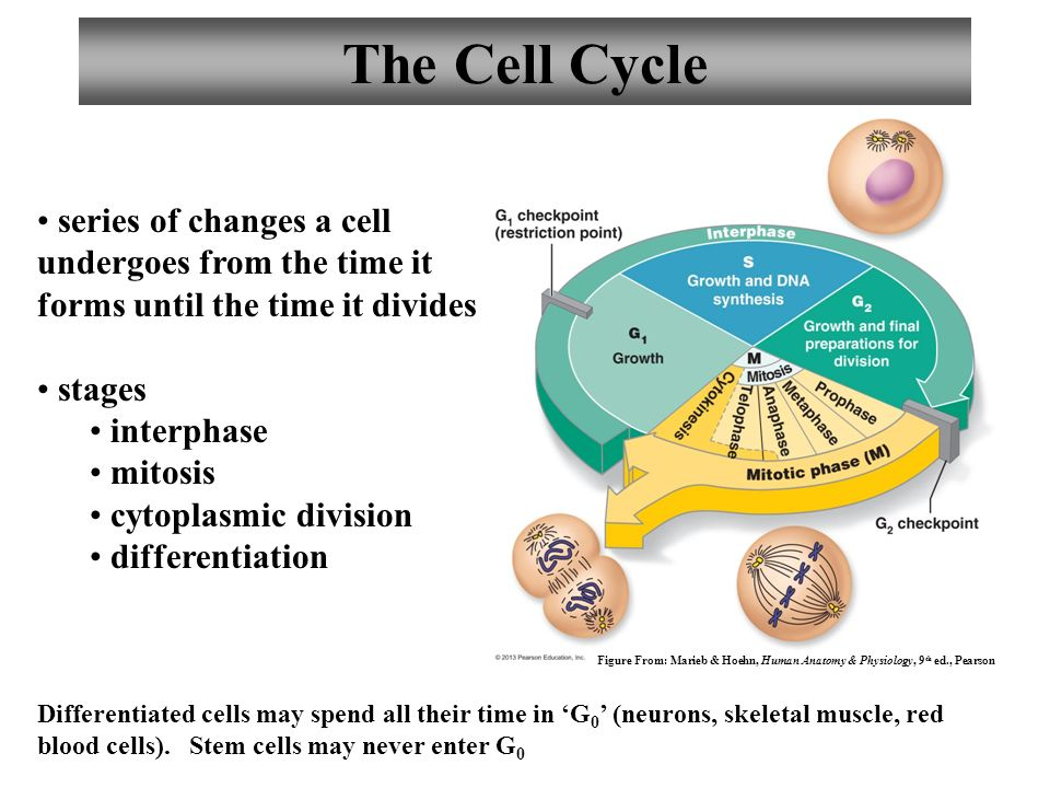 Anatomy and Physiology Cells: The Living Units - ppt video online ...