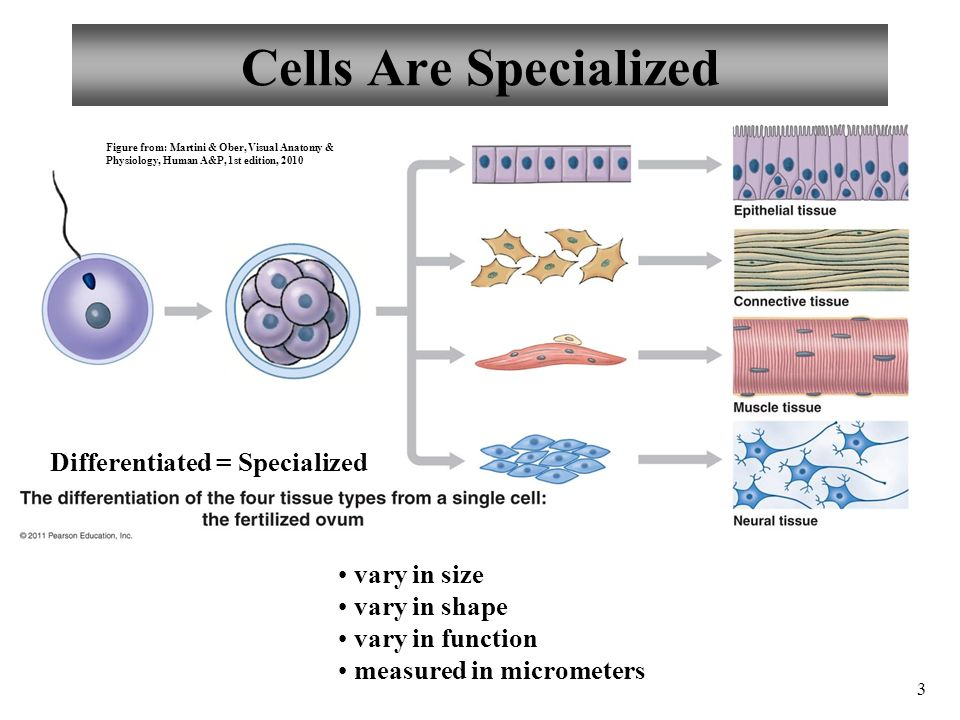 Anatomy And Physiology Cells The Living Units Ppt Video Online