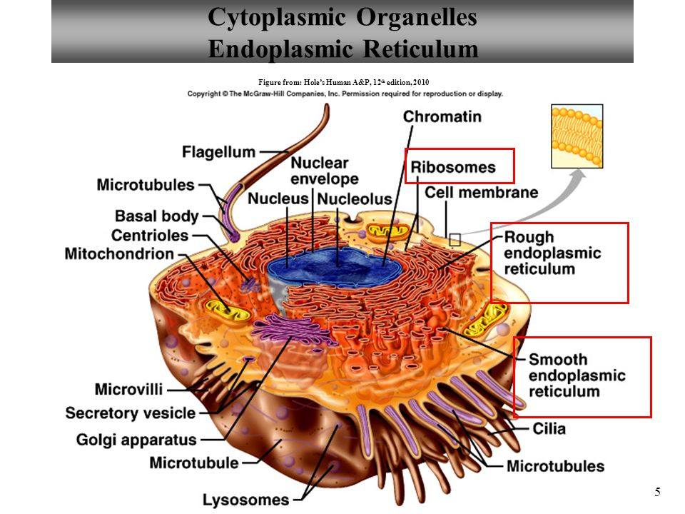 Contemporary Anatomy Cell Structure Image Collection Human Anatomy