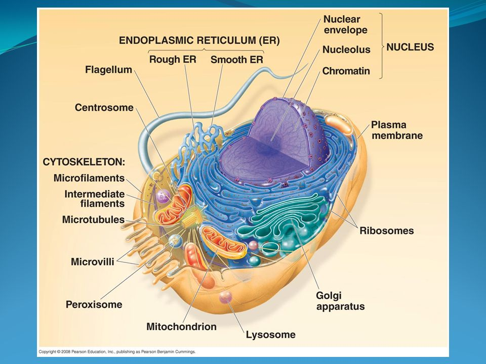 by the end of today name a function of each organelle ppt videoDiagram Of Cell Organelles Name #15