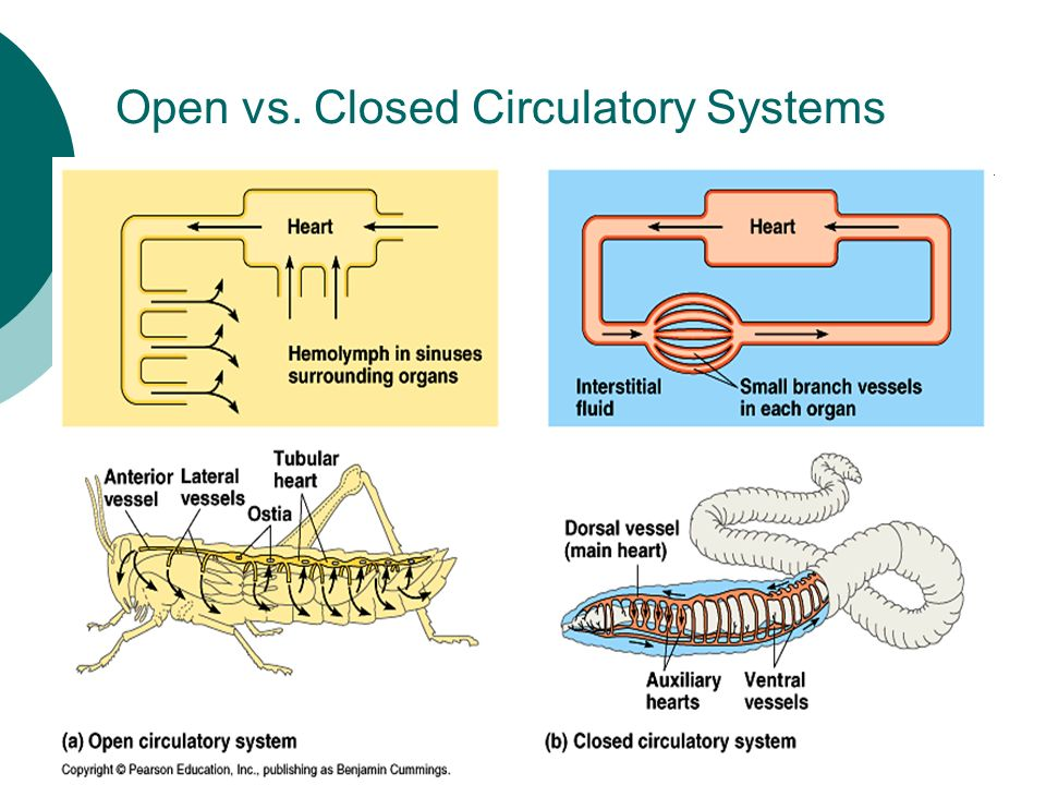 Circulation and gas exchange ppt download closed circulatory systems ccuart Gallery