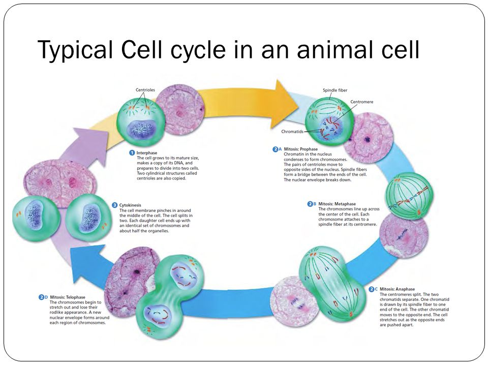 Animal cell diagram cell cycle diy enthusiasts wiring diagrams cycle of animal cell diagram simple electronic circuits u2022 rh wiringdiagramone today animal cell reproduction chart cell cycle diagram animal cell part ccuart Images