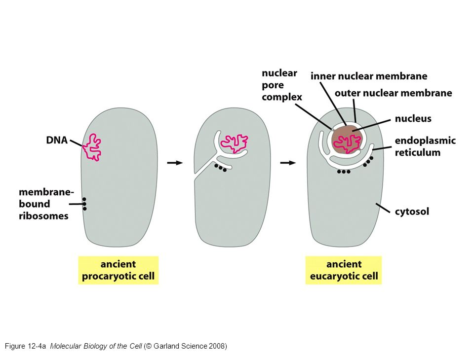 Figure 12-4a Molecular Biology of the Cell (© Garland Science 2008)