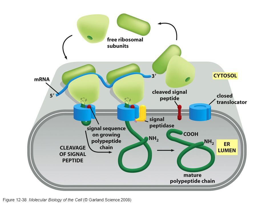 Figure Molecular Biology of the Cell (© Garland Science 2008)
