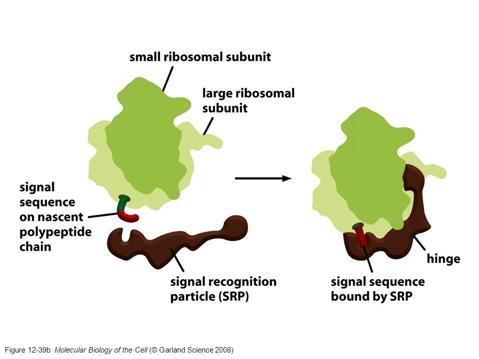Figure 12-39b Molecular Biology of the Cell (© Garland Science 2008)