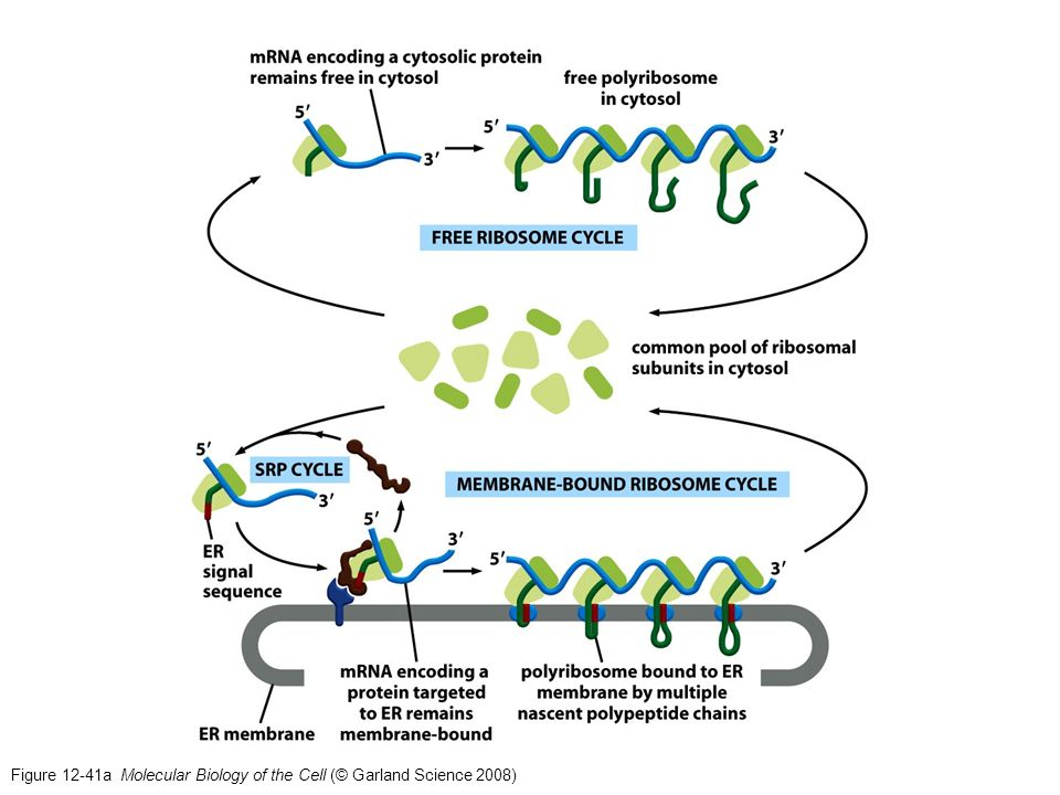 Figure 12-41a Molecular Biology of the Cell (© Garland Science 2008)
