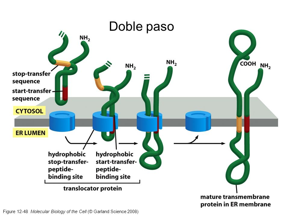 Doble paso Figure Molecular Biology of the Cell (© Garland Science 2008)