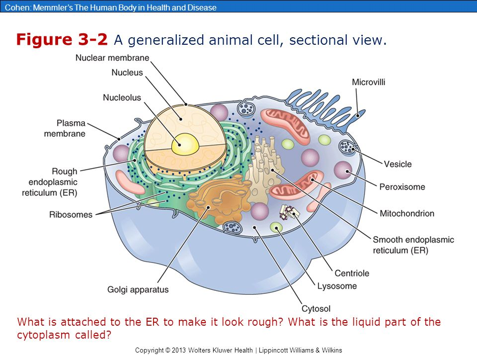 Chapter 3 cells and their functions ppt video online download figure 3 2 a generalized animal cell sectional view ccuart Image collections