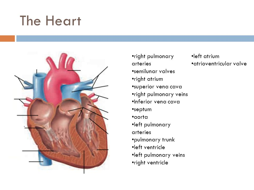 The Heart Ppt Download