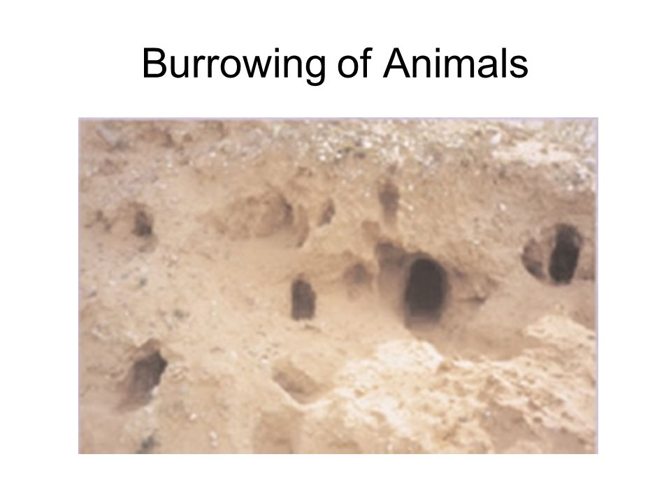 Burrowing of Animals