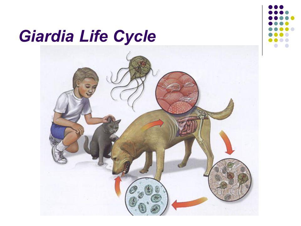 giardiasis zoonotic