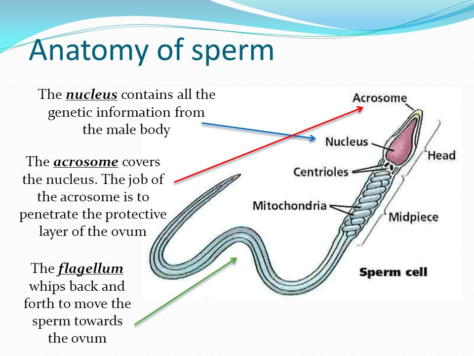 Attractive Anatomy Of Sperm Ideas - Anatomy And Physiology Biology ...