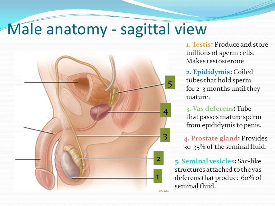 Male Anatomy. - ppt video online download