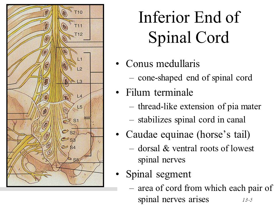 Chapter 13 The Spinal Cord Amp Spinal Nerves Ppt Video
