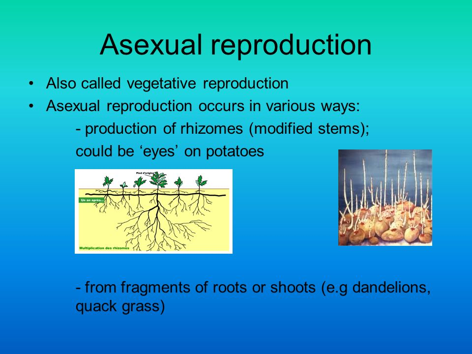 Gymnosperms asexual reproduction in plants