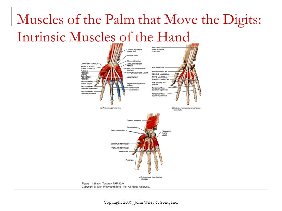 Chapter 11 The Muscular System Ppt Video Online Download
