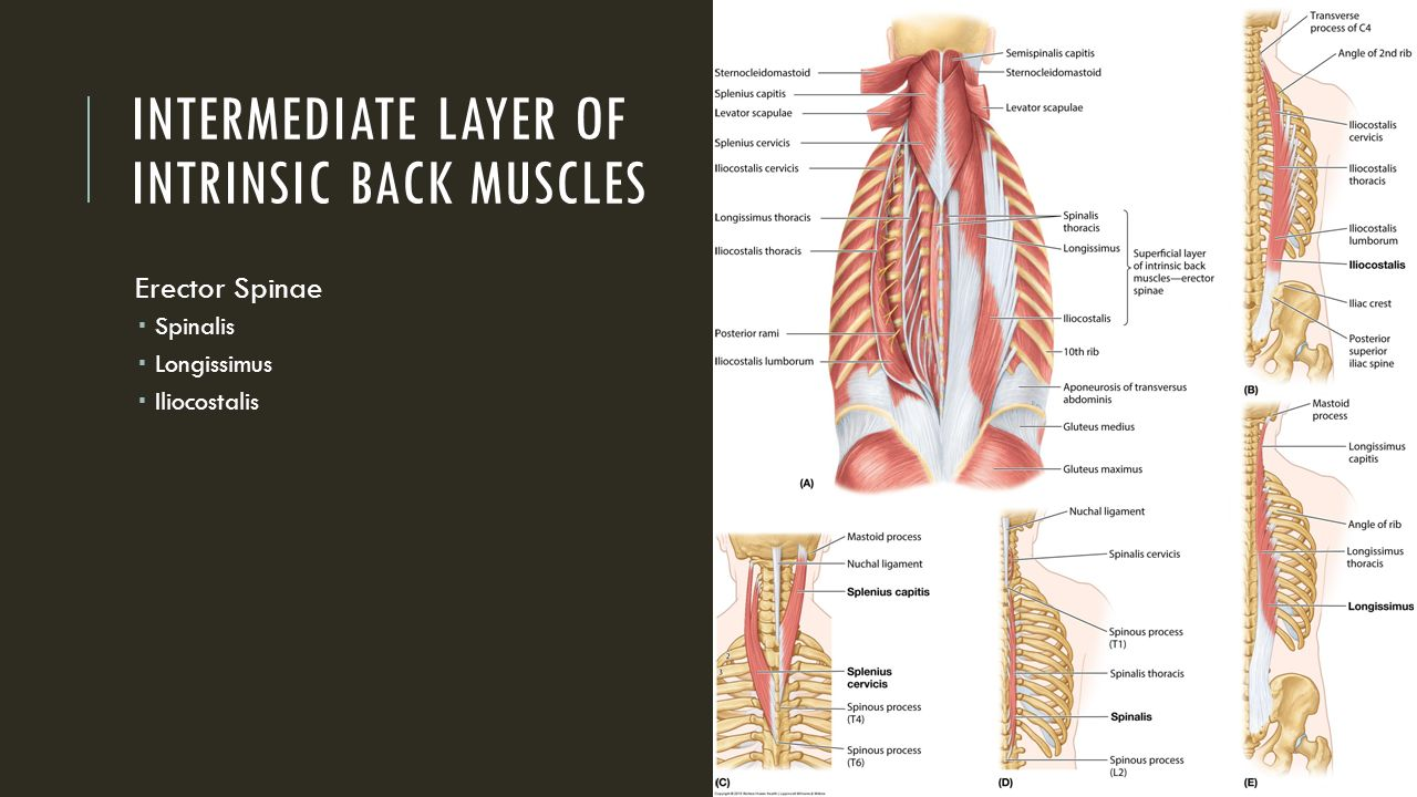 Extrinsic Back Muscles - ppt video online download