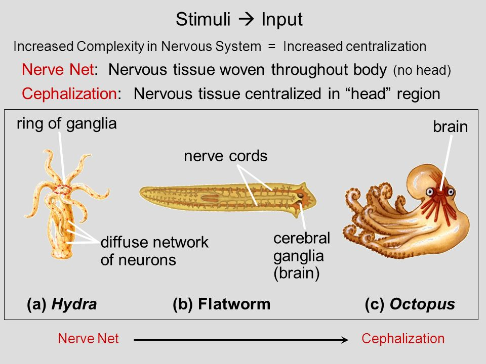 Lecture 14 Ch 49 Nervous Systems Ppt Download