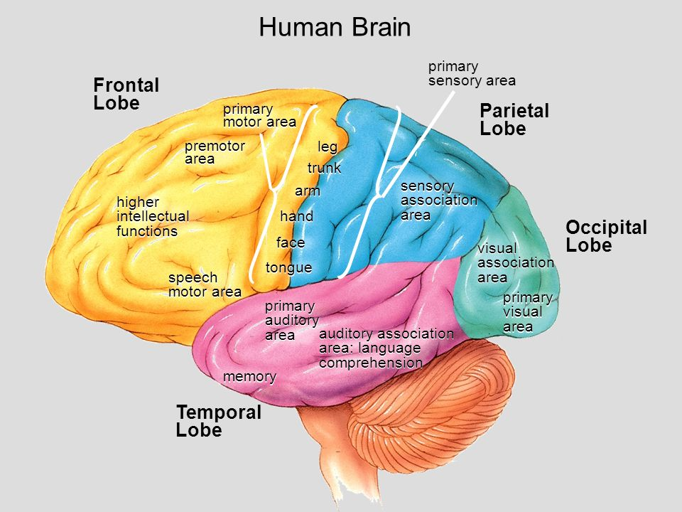 the temporal lobe and parietal lobe Parietal lobe damage the parietal lobes have the following functions: interpreting sensory information from the rest of the body damage that affects the limbic lobe usually results in a variety of problems if seizures result from damage to the temporal lobe area in the limbic lobe, people may not be able.