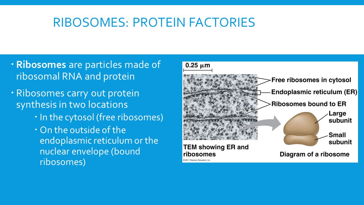 Chapter 6- A tour of the cell - ppt download