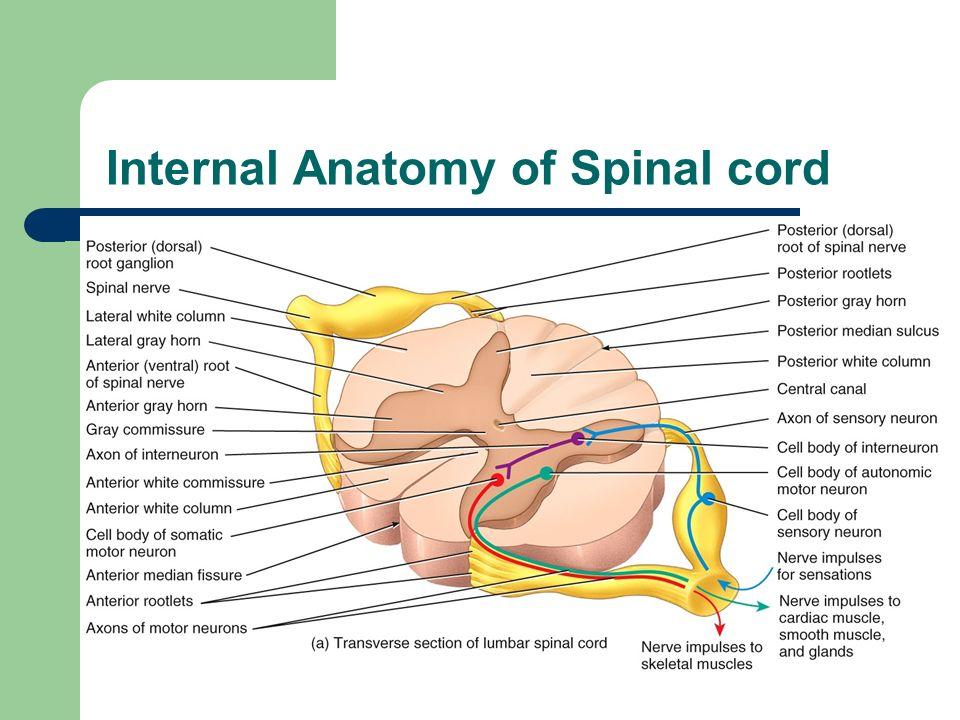 Spinal Cord Spinal Nerves Ppt Video Online Download