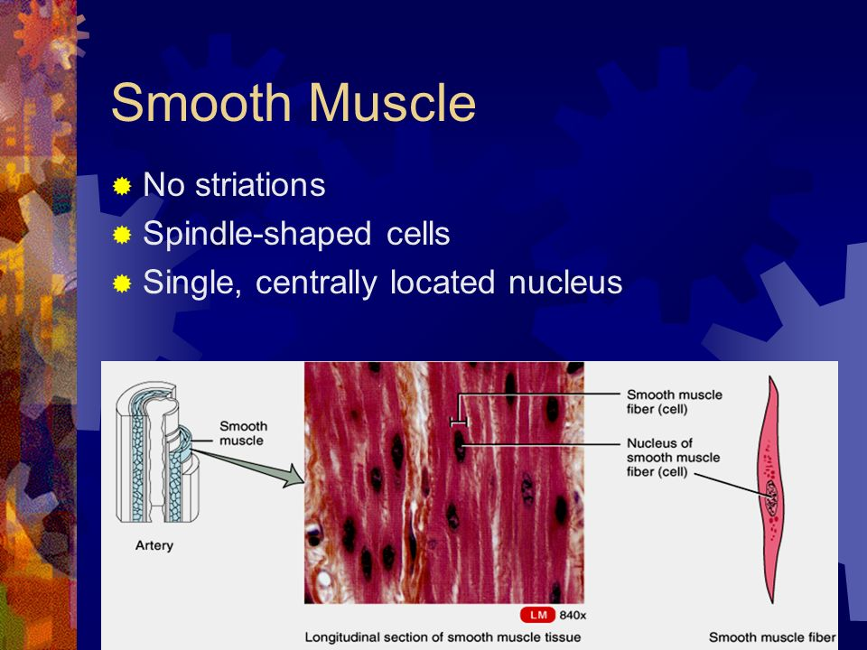 the muscle tissue that shows no striations is