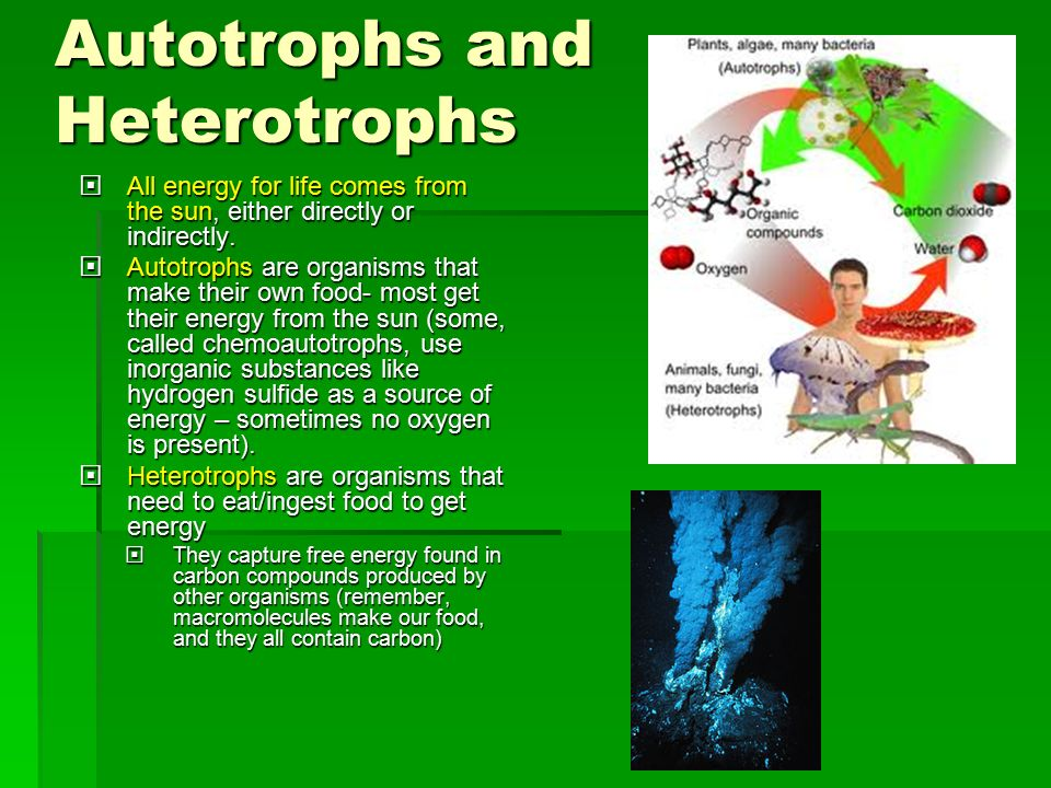 Ch 10 Photosynthesis Essential Knowledge 2 A Ppt Download Rh Slideplayer Com Autotroph Vs Heterotroph Examples