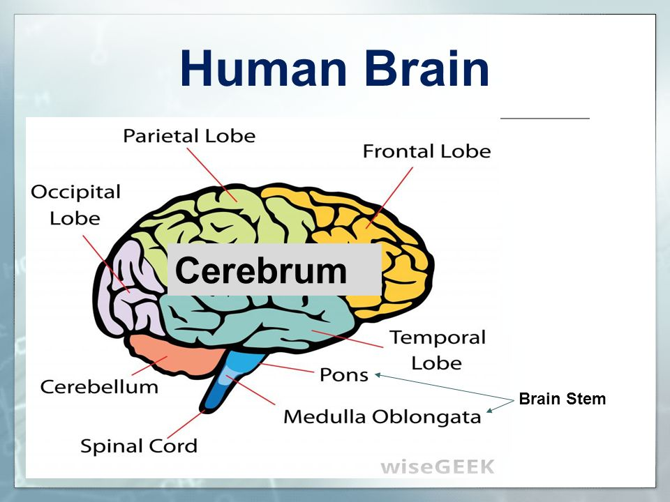 Human Brain Cerebrum To the Teacher: Brain Stem