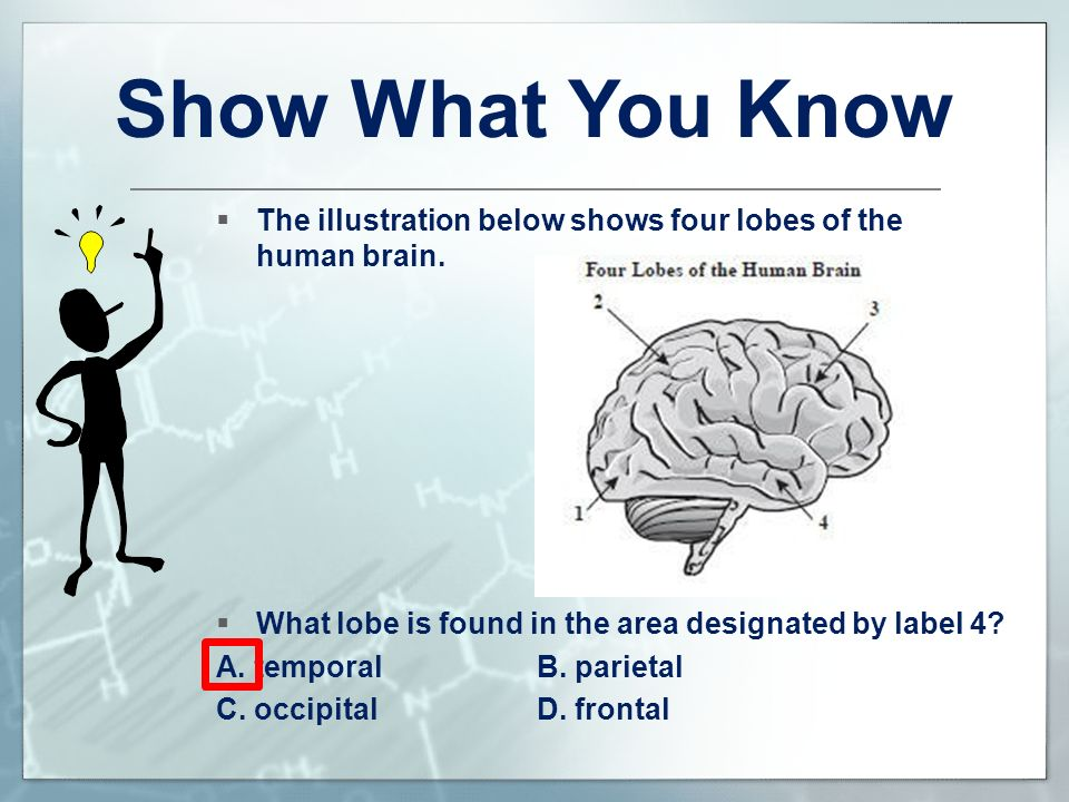Show What You Know The illustration below shows four lobes of the human brain. What lobe is found in the area designated by label 4