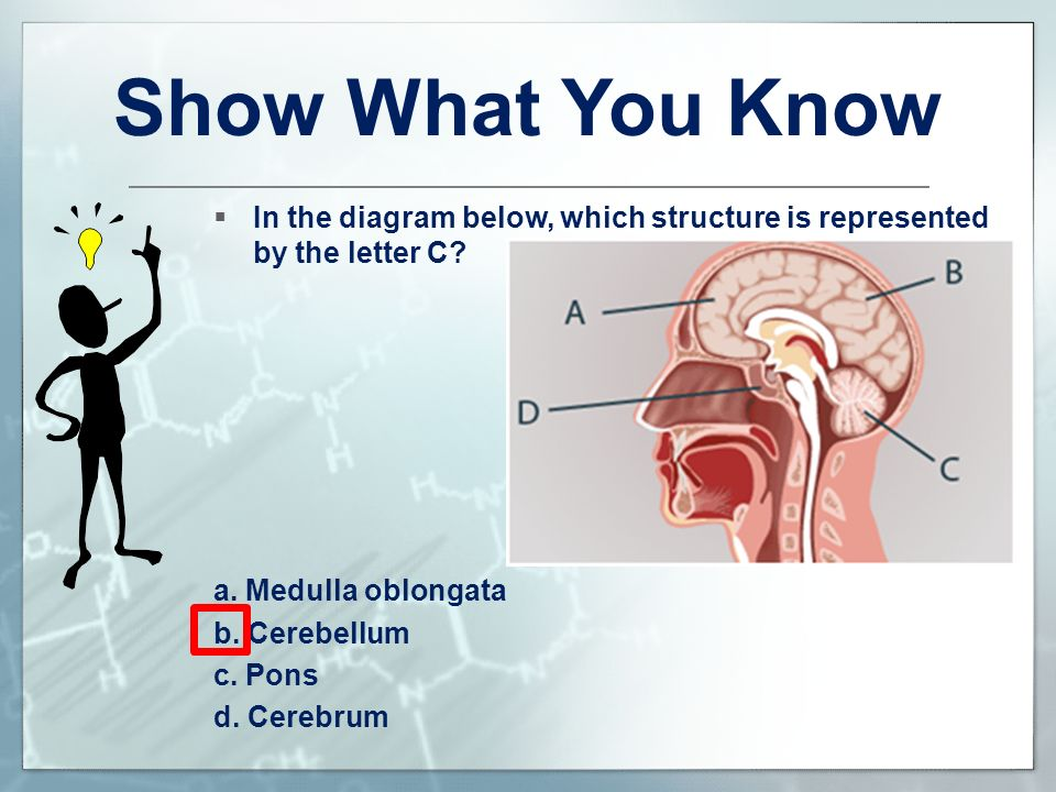 Show What You Know In the diagram below, which structure is represented by the letter C a. Medulla oblongata.