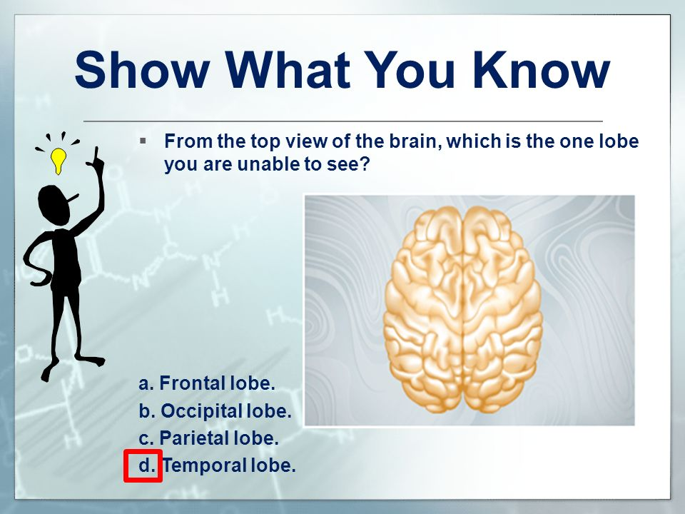 Show What You Know From the top view of the brain, which is the one lobe you are unable to see a. Frontal lobe.