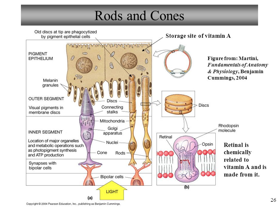 Awesome Martini Fundamentals Of Anatomy And Physiology Model ...