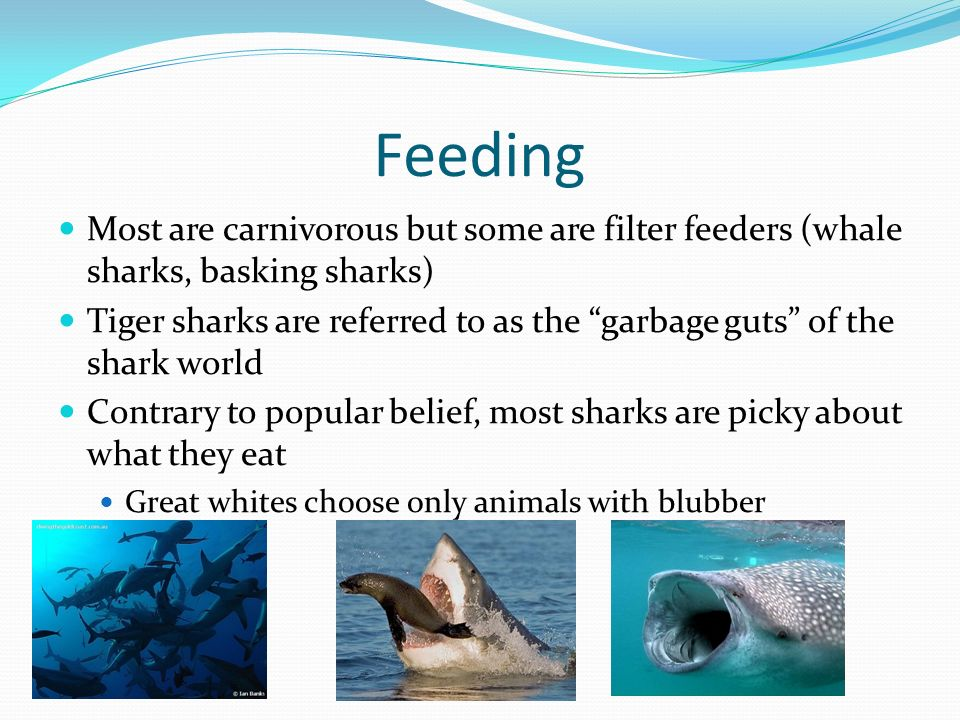 SHARKS: THE ANATOMY AND PHYSIOLOGY OF A PREDATORIAL MACHINE - ppt ...