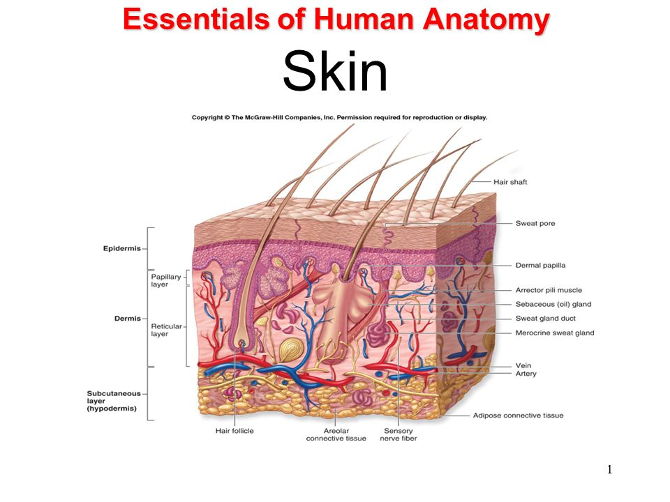 Essentials Of Human Anatomy And Physiology Diagrams - Auto ...