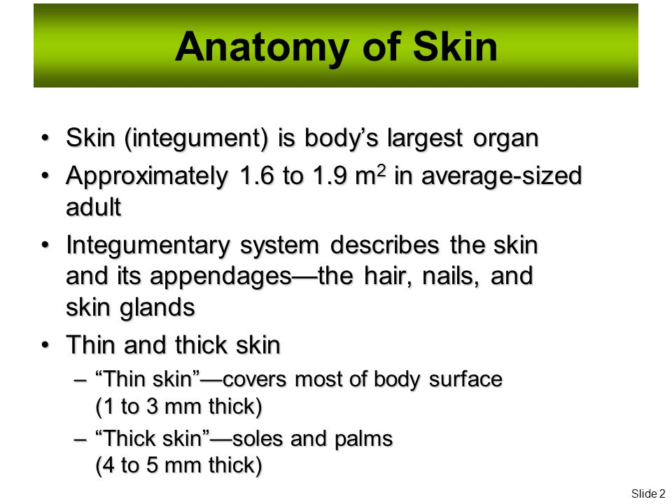 Essentials Of Human Anatomy Skin Ppt Download