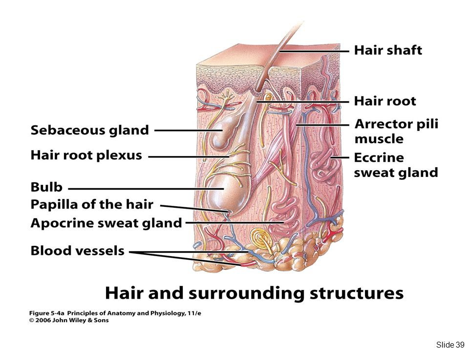 Essentials of Human Anatomy Skin - ppt download