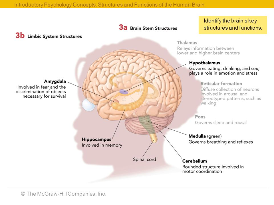 Psychology Brain Parts And Functions Diagram Electrical Work