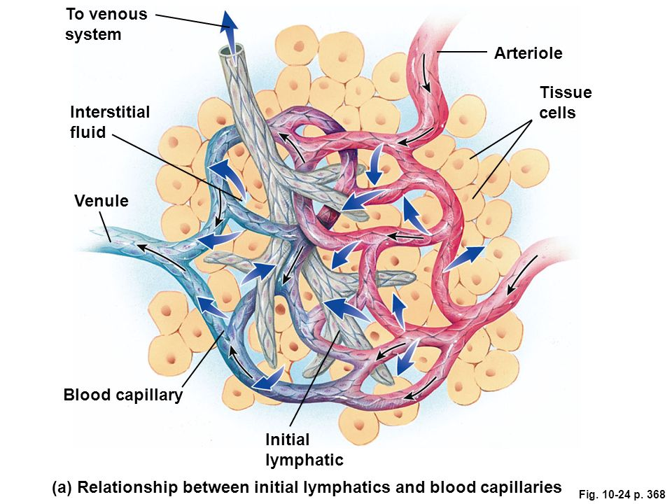 Chapter 10 The Blood Vessels And Blood Pressure Ppt Video Online