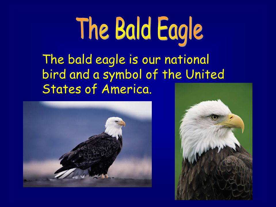 Bald Eagle National Symbol Choice Image Meaning Of This Symbol