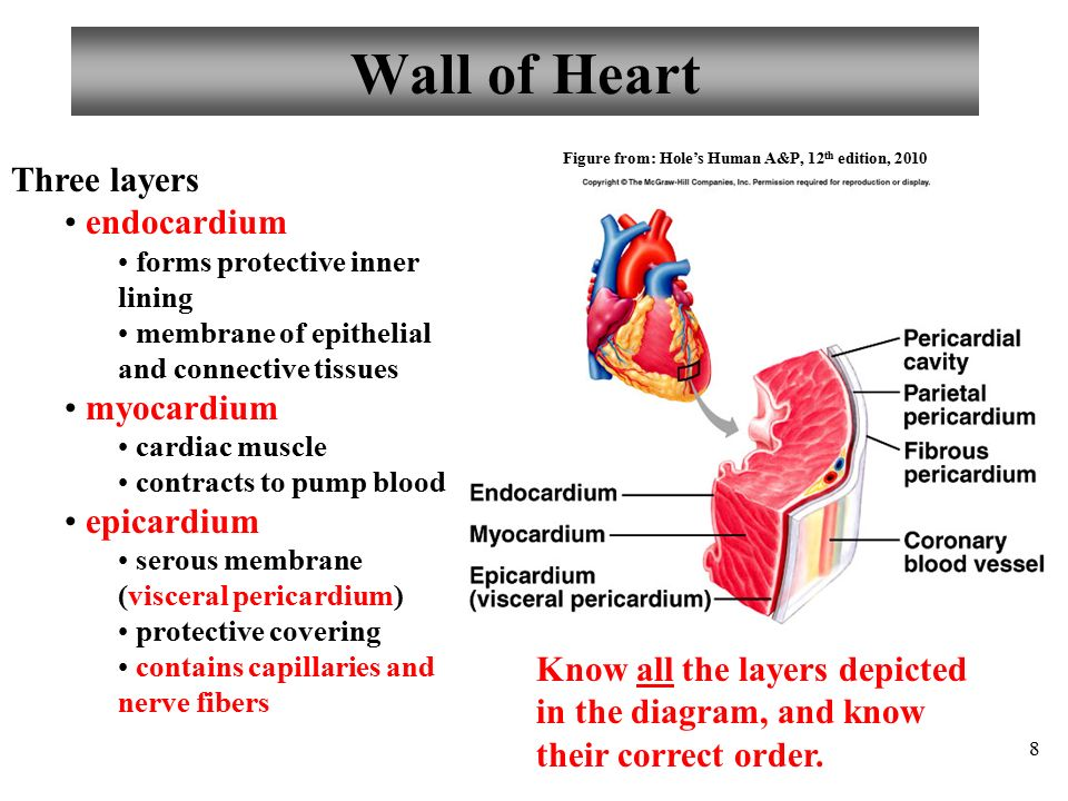 Hole S Human Anatomy And Physiology Heart Diagram - Circuit Diagram ...