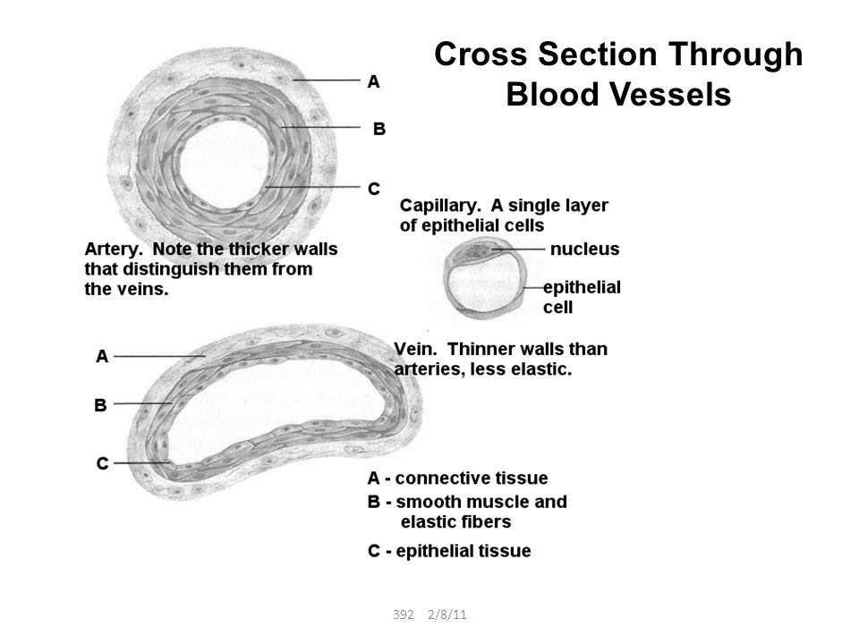 Labelled Diagrams Of Cross Section Of Artery Block And Schematic