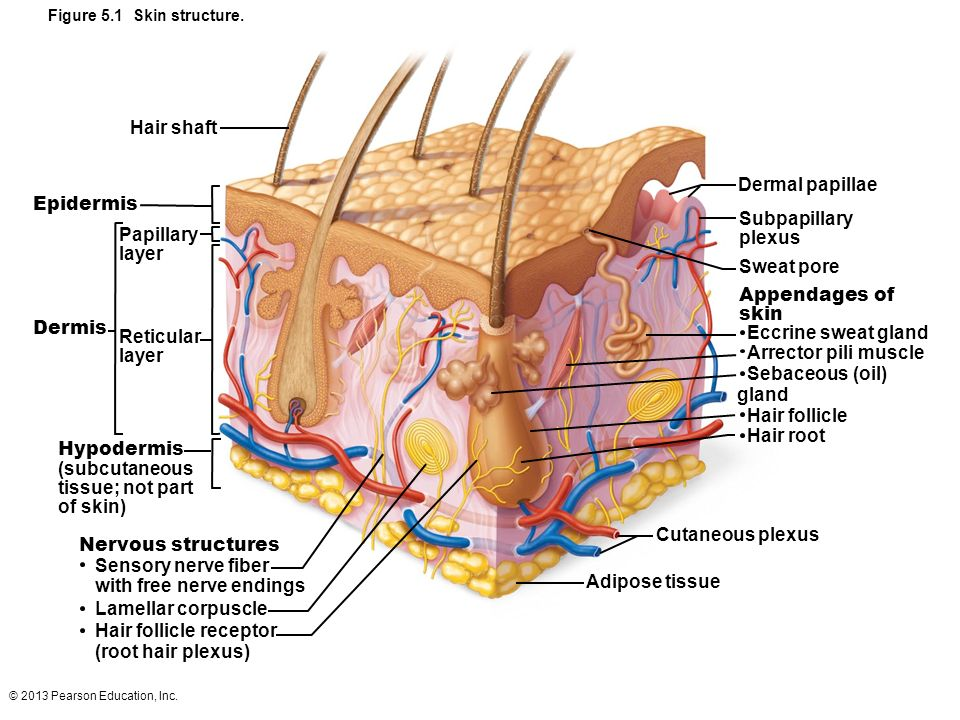 The Integumentary System Glands Diagram - DIY Enthusiasts Wiring ...