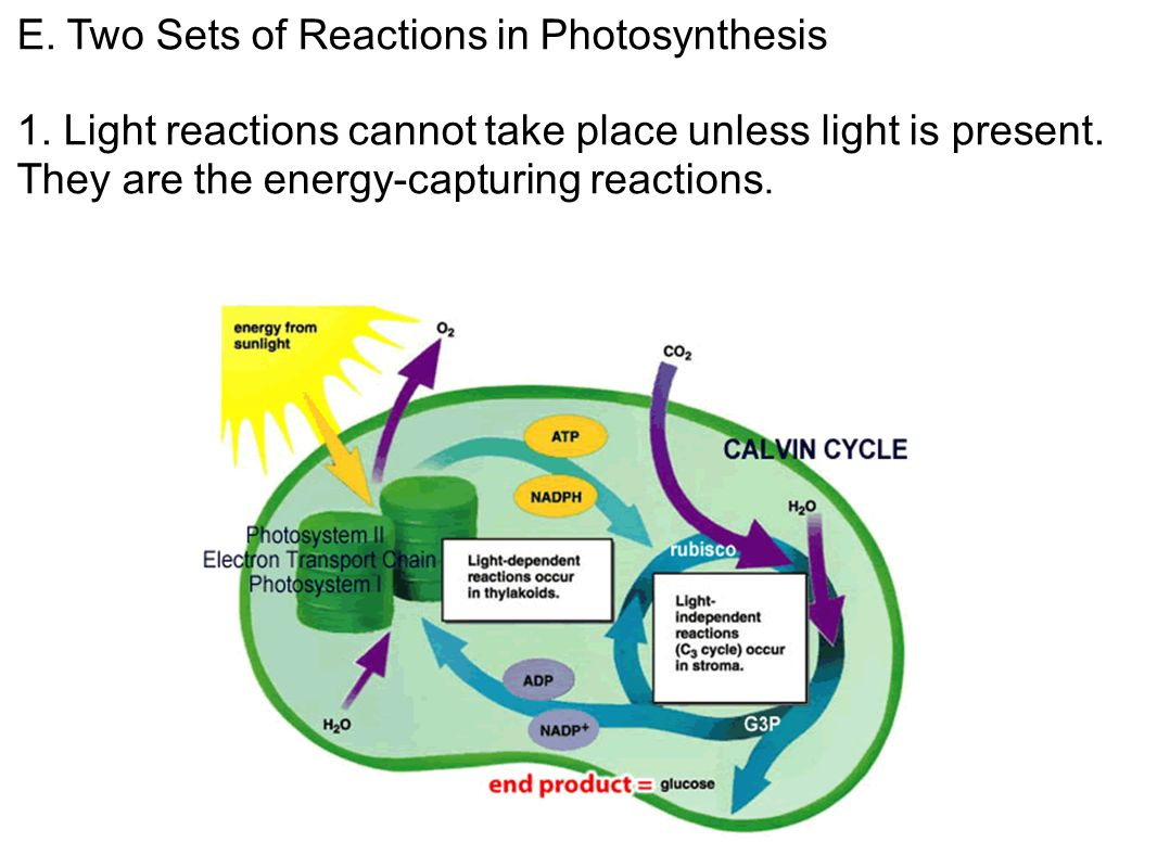 light reactions Photosynthesis-the light reactions this comes at a time of heightened interest in sunlight as a source of energy for our daily needs the exploration of potential practical applications in this area will be helped by identifying the common features of the light reactions in higher plants and algae and in the simpler photosynthetic bacteria.