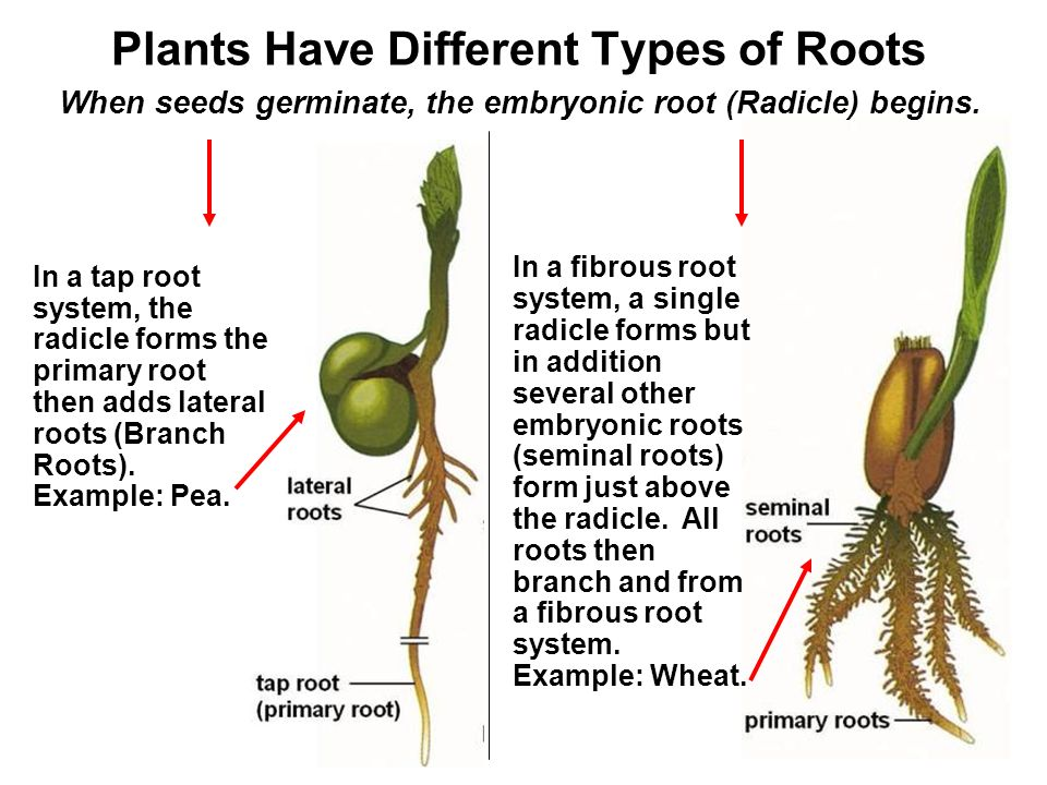 Gres Have Fibrous Roots Characteristic Of Monocots Dandelions Taproots Dicots