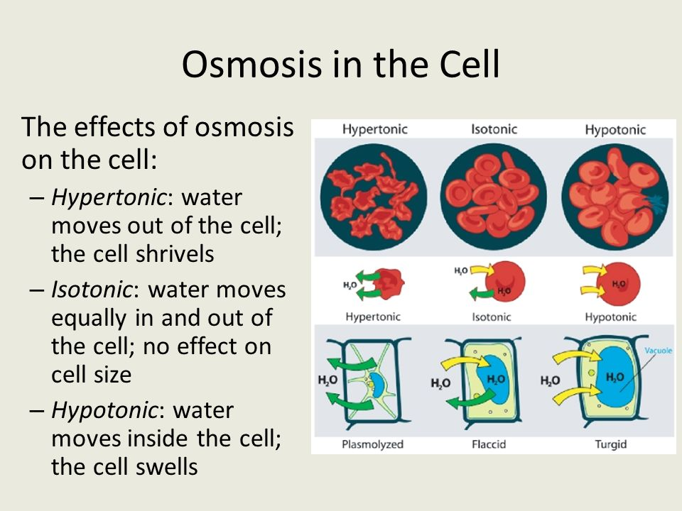 Osmosis in the Cell The effects of osmosis on the cell: