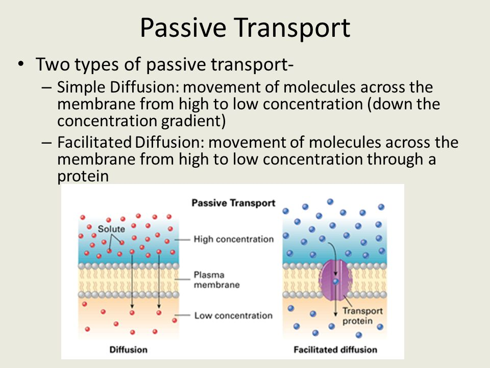 Passive Transport Two types of passive transport-