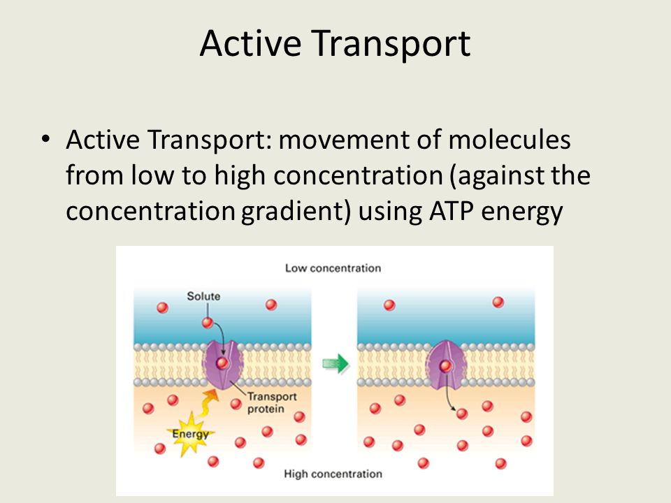 Active Transport Active Transport: movement of molecules from low to high concentration (against the concentration gradient) using ATP energy.