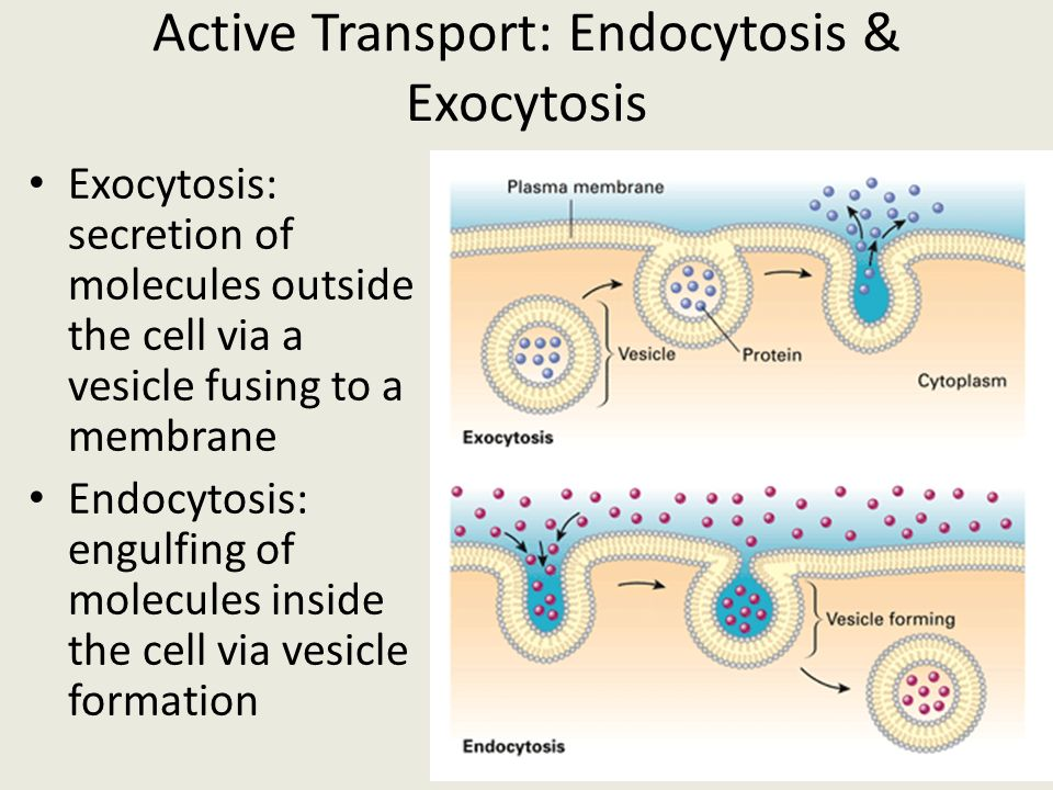 Active Transport: Endocytosis & Exocytosis