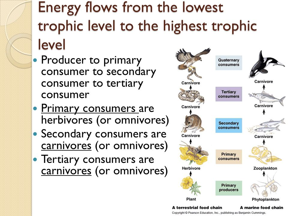 Energy flows from the lowest trophic level to the highest trophic level