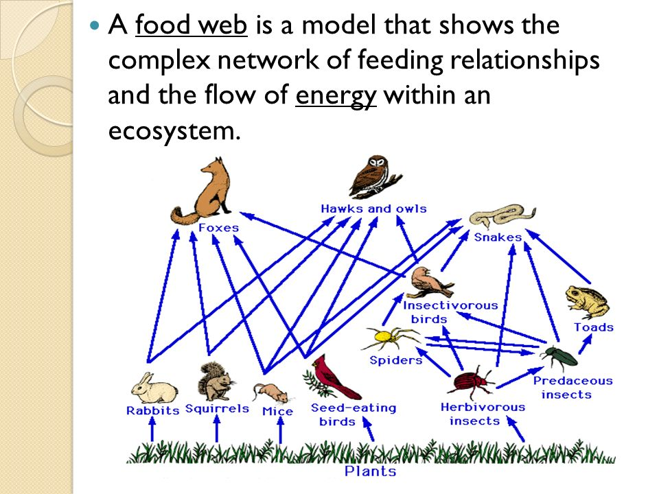A food web is a model that shows the complex network of feeding relationships and the flow of energy within an ecosystem.